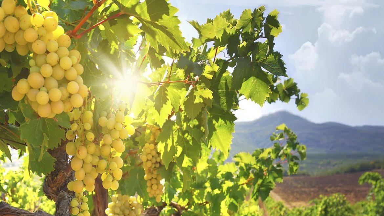 Comment le vin naturel a chassé le chimique pour respecter la nature