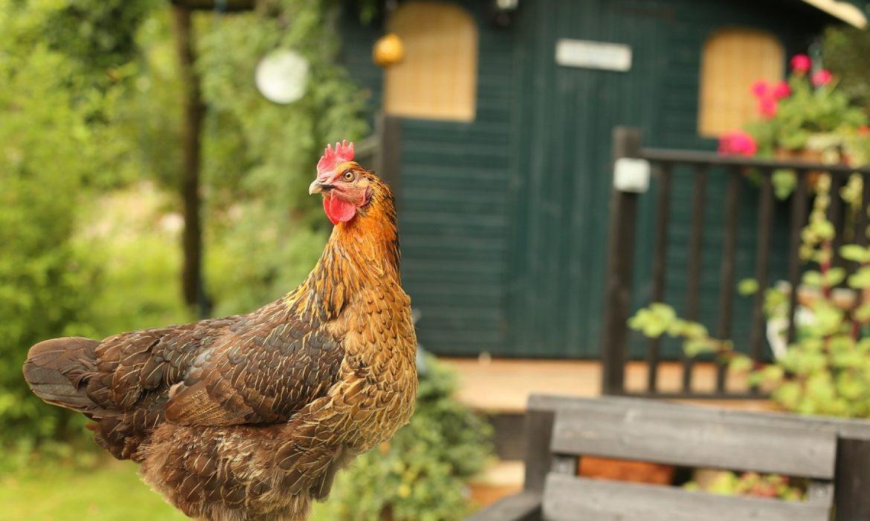 Adopter une poule ? Une idée pas si saugrenue que ça !