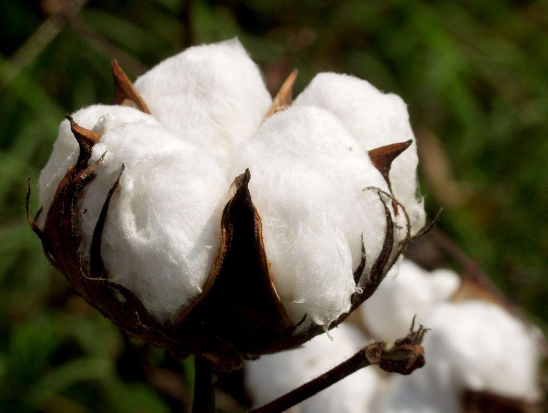 La chemise en coton de café coton est un véritable ravissement