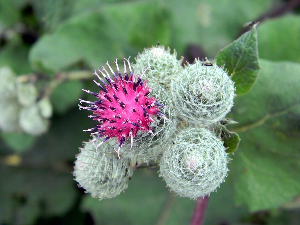 Fleur de Bach – le remède pour stabilisez vos émotions